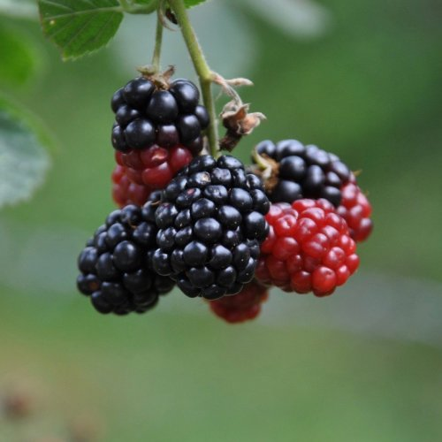 Color Inspiration, Black Raspberries