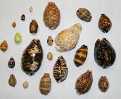 Shining cowrie shells