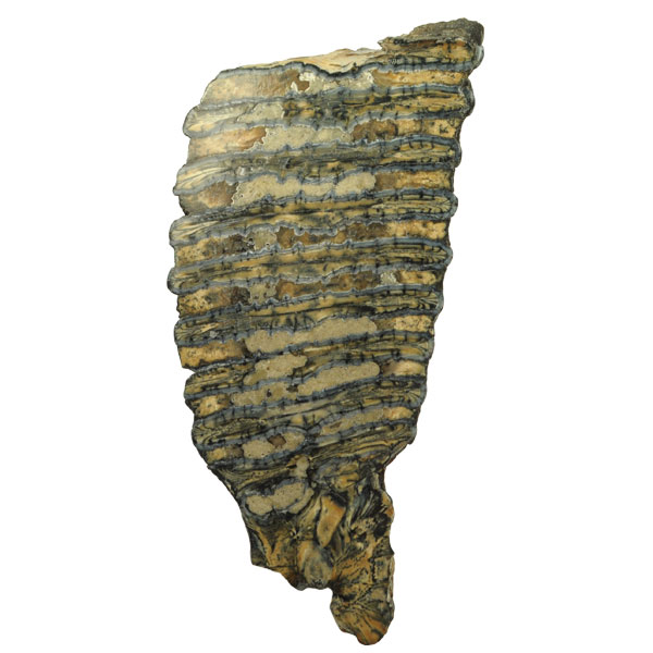 Fossilized Woolly Mammoth Tooth